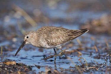 Dunlin (Calidris alpina) foraging, Everglades National Park, Florida  -  Scott Leslie