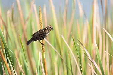 Red-winged Blackbird (Agelaius phoeniceus) female, Florida  -  Scott Leslie