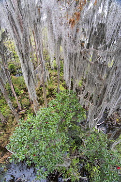 Bald Cypress (Taxodium distichum) grove with Spanish Moss (Tillandsia usneoides), Okefenokee National Wildlife Refuge, Georgia  -  Scott Leslie