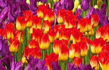 Tulip (Tulipa sp) flowers, Skagit Valley, Washington  -  Kevin Schafer
