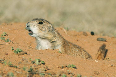 Black-tailed Prairie Dog (Cynomys ludovicianus) giving alarm call at burrow entrance, Devils Tower National Monument, Wyoming  -  Kevin Schafer