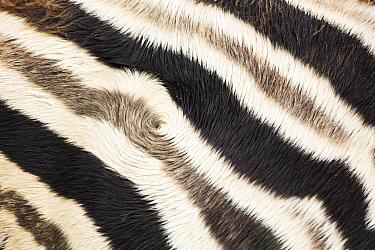 Burchell's Zebra (Equus burchellii) stripes, Rietvlei Nature Reserve, South Africa  -  Richard Du Toit