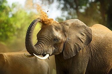 African Elephant (Loxodonta africana) dust bathing, Kruger National Park, South Africa  -  Richard Du Toit