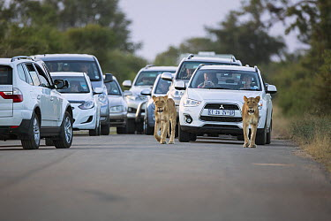 African Lion (Panthera leo) females on road with tourist vehicles, Kruger National Park, South Africa  -  Richard Du Toit
