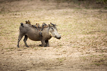 Red-billed Oxpecker (Buphagus erythrorhynchus) group on Warthog (Phacochoerus africanus), Kruger National Park, South Africa  -  Richard Du Toit
