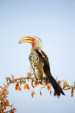 Eastern Yellow-billed Hornbill (Tockus flavirostris), Kruger National Park, South Africa  -  Richard Du Toit