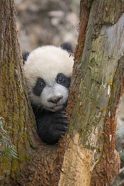 Giant Panda (Ailuropoda melanoleuca) five month old cub, Bifengxia Panda Base, Sichuan, China  -  Katherine Feng