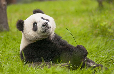 Giant Panda (Ailuropoda melanoleuca) eleven month old cub, Wolong National Nature Reserve, Sichuan, China  -  Katherine Feng