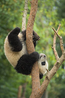 Giant Panda (Ailuropoda melanoleuca) eight month old cub in tree, Chengdu, Sichuan, China  -  Katherine Feng