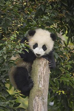 Giant Panda (Ailuropoda melanoleuca) eight month old cub on tree stump, Chengdu, Sichuan, China  -  Katherine Feng