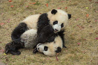 Giant Panda (Ailuropoda melanoleuca) eight month old cubs playing, Chengdu, Sichuan, China  -  Katherine Feng
