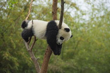 Giant Panda (Ailuropoda melanoleuca) eight month old cub sleeping in tree, Chengdu, Sichuan, China  -  Katherine Feng