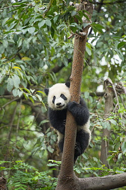 Giant Panda (Ailuropoda melanoleuca) seven month old cub in tree, Chengdu, Sichuan, China  -  Katherine Feng