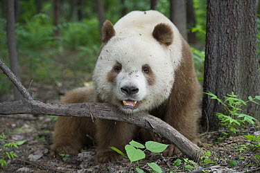 Giant Panda (Ailuropoda melanoleuca qinlingensis) brown and white morph, China  -  Katherine Feng