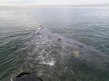 Gray Whale (Eschrichtius robustus) calf resting on mother, Magdalena Bay, Baja California, Mexico  -  Flip  Nicklin