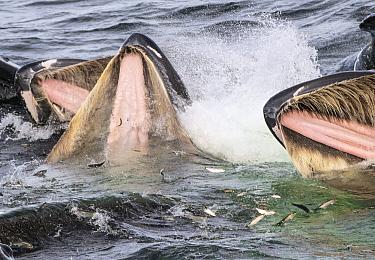 Humpback Whale (Megaptera novaeangliae) group cooperative gulp feeding, Alaska  -  Flip  Nicklin