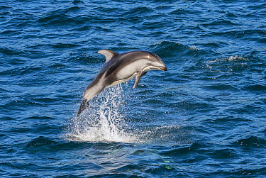 Pacific White-sided Dolphin (Lagenorhynchus obliquidens) leaping, Vancouver Island, British Columbia, Canada  -  Flip  Nicklin