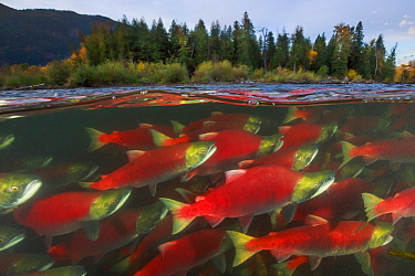 Sockeye Salmon (Oncorhynchus nerka) group migrating upstream, Adams River, Roderick Haig-Brown Provincial Park, British Columbia, Canada