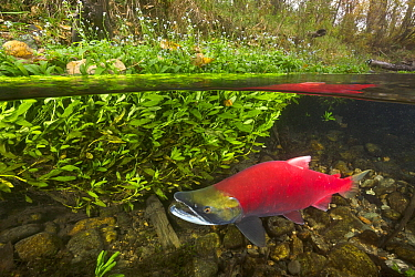 Sockeye Salmon (Oncorhynchus nerka) migrating upstream, Adams River, Roderick Haig-Brown Provincial Park, British Columbia, Canada