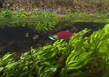 Sockeye Salmon (Oncorhynchus nerka) migrating upstream, Adams River, Roderick Haig-Brown Provincial Park, British Columbia, Canada