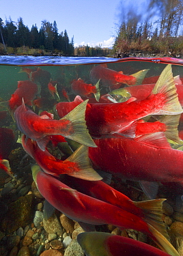 Sockeye Salmon (Oncorhynchus nerka) group migrating upstream, Adams River, Roderick Haig-Brown Provincial Park, British Columbia, Canada