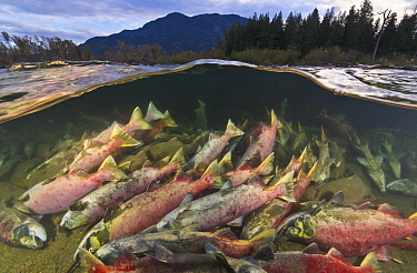 Sockeye Salmon (Oncorhynchus nerka) carcasses on river bottom, having died after spawning, Adams River, Roderick Haig-Brown Provincial Park, British Columbia, Canada
