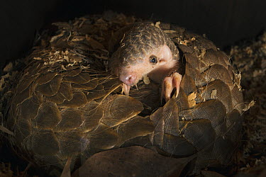 Chinese Pangolin (Manis pentadactyla) two month old baby climbing on mother, Taipei Zoo, Taipei, Taiwan, digitally removed leaf debris in foreground  -  Suzi Eszterhas