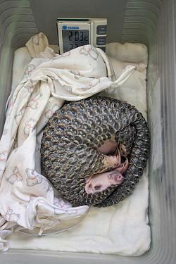 Chinese Pangolin (Manis pentadactyla) three month old orphaned baby sleeping, Taipei Zoo, Taipei, Taiwan  -  Suzi Eszterhas