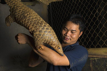 Malayan Pangolin (Manis javanica), rehabilitated individual, climbing on conservationist, Thai Van Nguyen, Cuc Phuong National Park, Vietnam, digitally removed highlight in background  -  Suzi Eszterhas