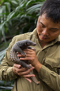 Malayan Pangolin (Manis javanica) conservationist, Thai Van Nguyen, holding three month old baby, Carnivore and Pangolin Conservation Program, Cuc Phuong National Park, Vietnam, digitally removed obje...  -  Suzi Eszterhas