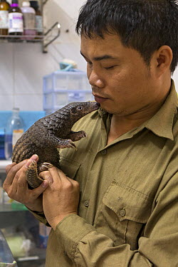 Malayan Pangolin (Manis javanica) conservationist, Thai Van Nguyen, examining three month old baby, Carnivore and Pangolin Conservation Program, Cuc Phuong National Park, Vietnam, digitally removed ob...  -  Suzi Eszterhas