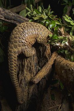Malayan Pangolin (Manis javanica), rehabilitated individual, raiding ant nest, Carnivore and Pangolin Conservation Program, Cuc Phuong National Park, Vietnam  -  Suzi Eszterhas