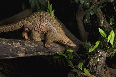 Malayan Pangolin (Manis javanica), rehabilitated individual, Carnivore and Pangolin Conservation Program, Cuc Phuong National Park, Vietnam  -  Suzi Eszterhas