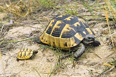 Mediterranean Spur-thighed Tortoise (Testudo graeca) parent with baby, Greece