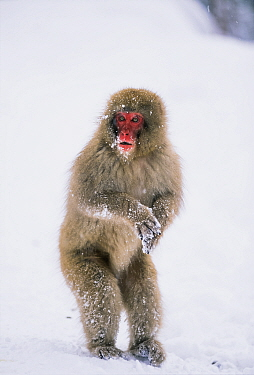 Japanese Macaque (Macaca fuscata) standing in snow, Japanese Alps, Japan