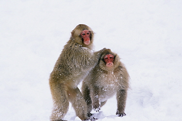 Japanese Macaque (Macaca fuscata) sub-adults play-fighting in snow, Japanese Alps, Japan
