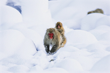 Japanese Macaque (Macaca fuscata) mother walking through snow with young on her back, Japanese Alps, Japan