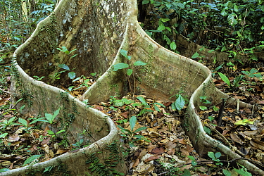 Buttress root in rainforest, Havelock Island, Andaman Islands, India