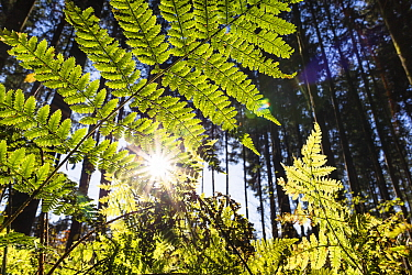 Lady Fern (Athyrium filix-femina) in forest, Upper Bavaria, Germany