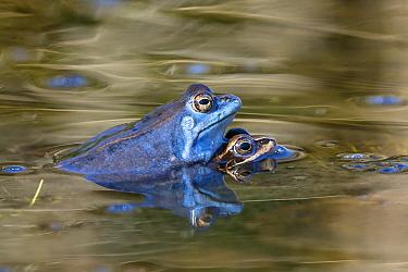 Moor Frog (Rana arvalis) pair in amplexus, Bavaria, Germany