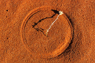 Spinifex Grass (Triodia pungens) seedling in red sand showing track made by wind, Strzelecki Desert, South Australia, Australia