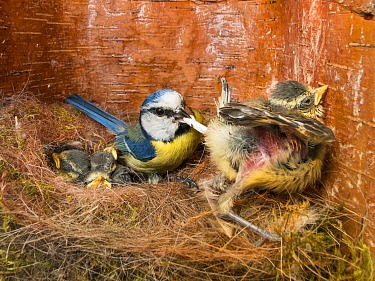 Blue Tit (Cyanistes caeruleus) parent collecting fecal sac in nest box, Bavaria, Germany