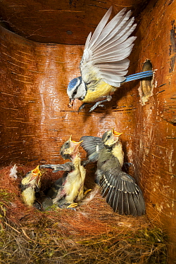 Blue Tit (Cyanistes caeruleus) parent feeding young in nest box, Bavaria, Germany