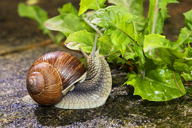 Edible Snail (Helix pomatia) feeding on lettuce, Bavaria, Germany