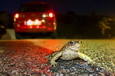 European Toad (Bufo bufo) crossing road, Bavaria, Germany
