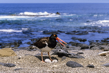 American Oystercatcher (Haematopus palliatus) at nest with eggs, Galapagos Islands, Ecuador
