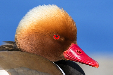 Red-crested Pochard (Netta rufina) male, Germany