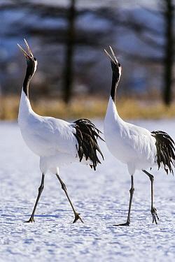Red-crowned Crane (Grus japonensis) pair courting, Hokkaido, Japan