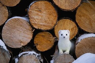Short-tailed Weasel (Mustela erminea) in winter in log pile, Alaska