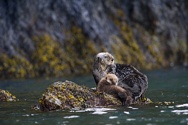 Sea Otter (Enhydra lutris) mother and pup hauled out on rock, Alaska